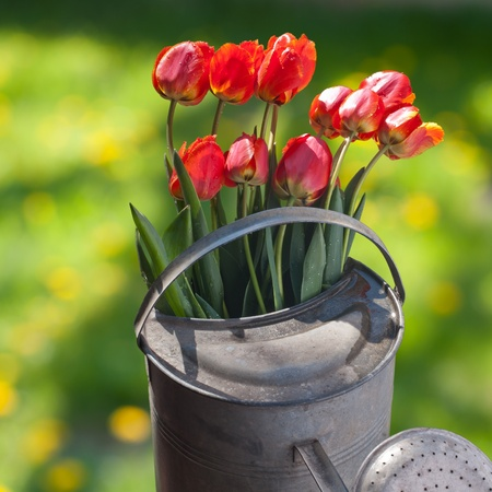 tulips Stock Photo - 13597972