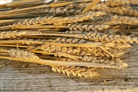 winter wheat photo