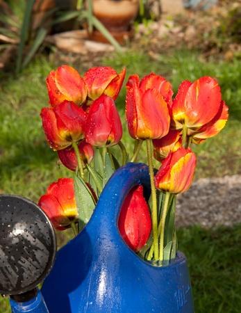 tulips Stock Photo - 14666067