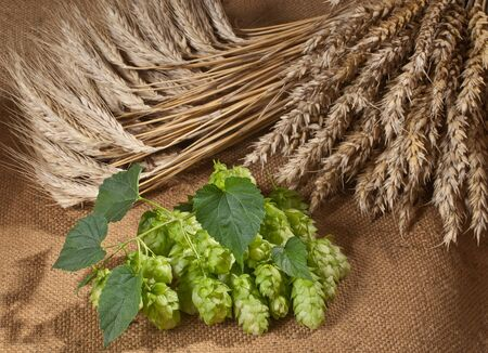 hopgarden: hop cones and barley with wheat Stock Photo