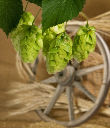 hop cones Stock Photo - 14957204