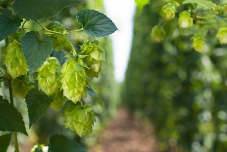 hopgarden: hop garden
