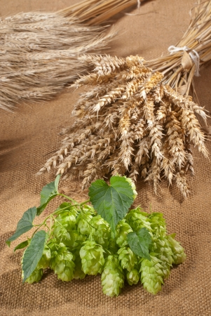 hop cones with barley malt Stock Photo - 15173449
