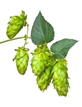 hopgarden: hop cones