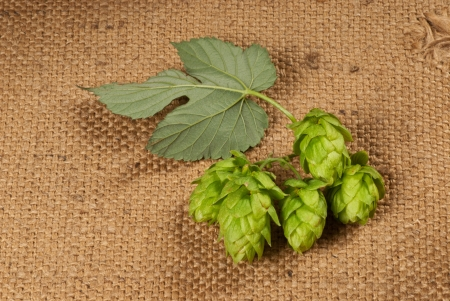 hop cones photo