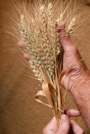 wheat Stock Photo - 16579312