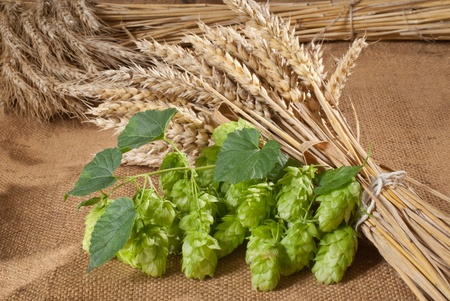 hop cones with barley Stock Photo - 17461578