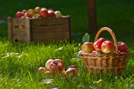 apple orchard: apples