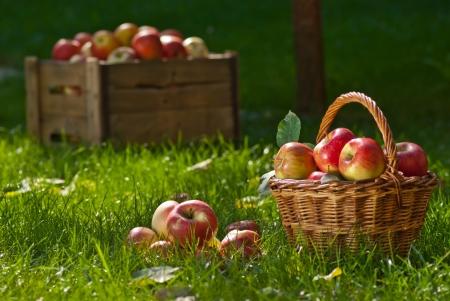 cueillette: pommes Banque d'images