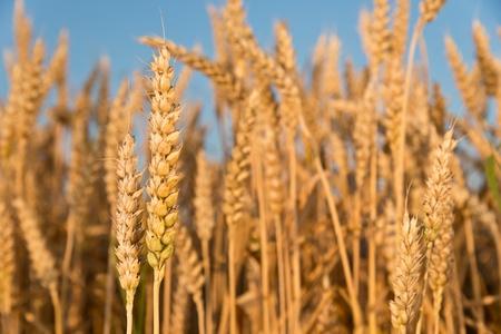 winter wheat: detail of wheat
