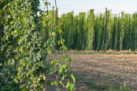 hopgarden: hop-garden Stock Photo