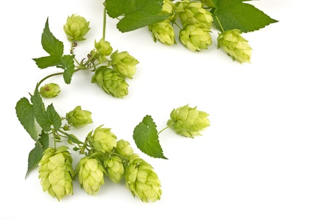 hop hops: hop cones isolated Stock Photo