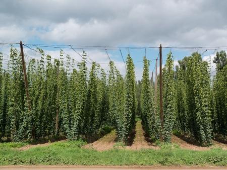 hopfield: hop-garden in  Zatec hop grow region, Czech Republic Stock Photo