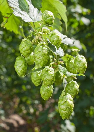 humulus: hops