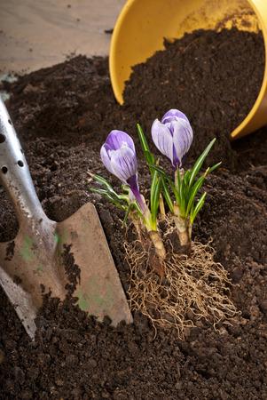planter: violet crocus with planter