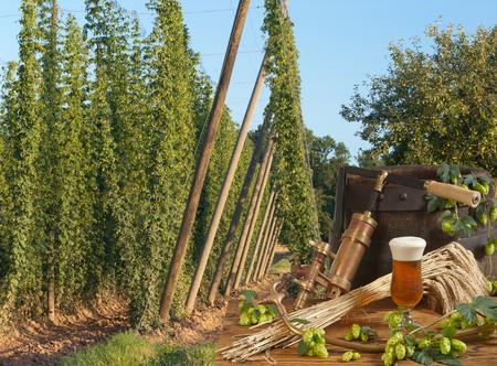 hopgarden: hop-garden with beer
