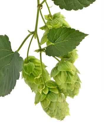 lupulus: hop cones isolated Stock Photo