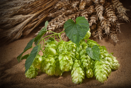 hopgarden:  raw material for beer production