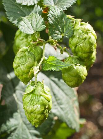 hopgarden: hop cones  Stock Photo