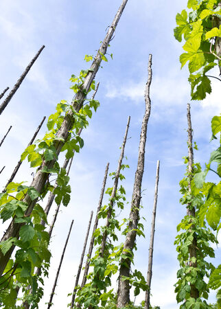 offset angle: traditional hop garden in Zatec Town in Czech Republic Stock Photo
