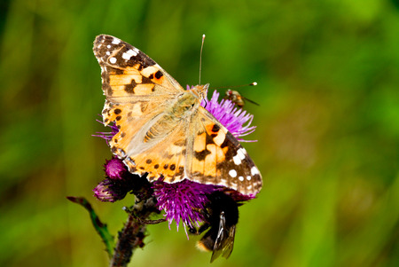 krkonose: A picture of a thistle with a butterfly