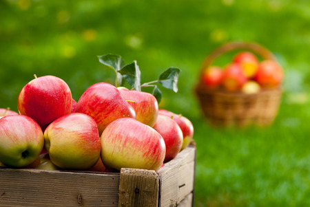 red ripened apples with wicker basket in the garden photo