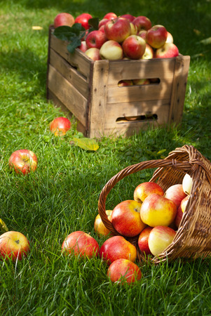 red apples in the wicker basket in the garden photo