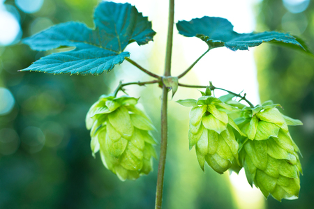 hopgarden: ripened hop cones in the hop garden