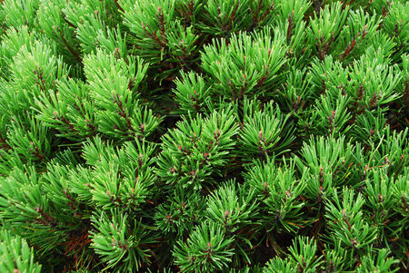 mugo: detail of pine tree in the summer