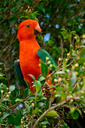 king parrot: detail of Australian King Parrot in the nature