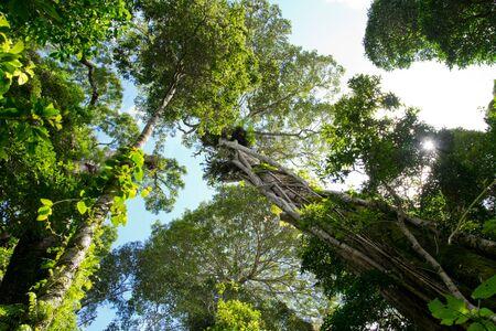 strangler: view from below of Australian rain forest