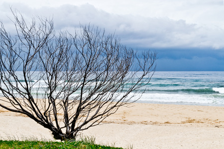 concealed: Dry tree on sandy beach in Australia