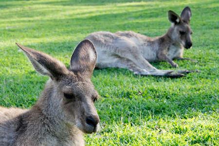 locomotion: two resting kangaroos in zoo in Australia Stock Photo