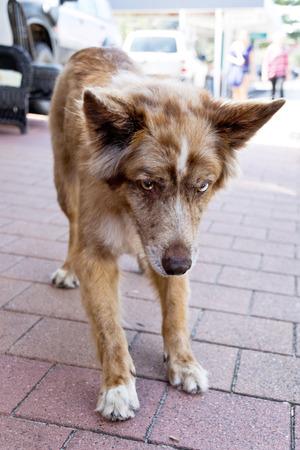 bicolored: Australian Shepherd
