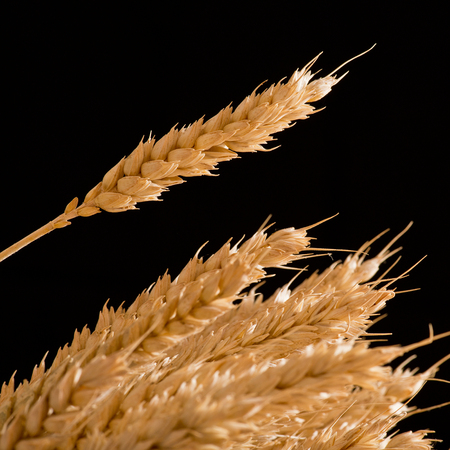 winter wheat: detail of winter wheat on the black background Stock Photo