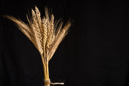 barley malt: sheaf of wheat and barley on the black background