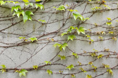 climbing plant: a old concrete wall with climbing plant