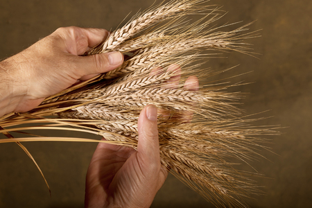 food inspection: farmer inspect barley on the brown background
