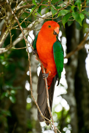 temperate: detail of Australian King Parrot Stock Photo