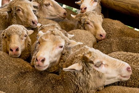 merino sheep: Sheep