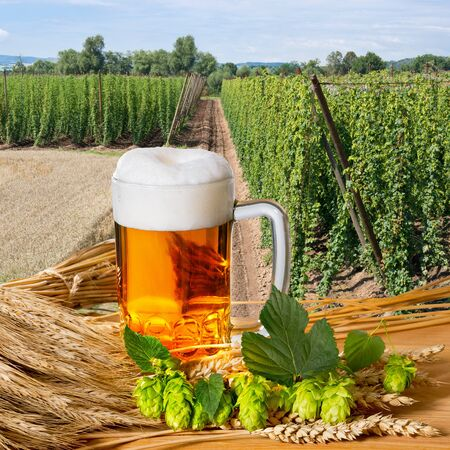 hopgarden: beer glass and raw material for beer production Stock Photo