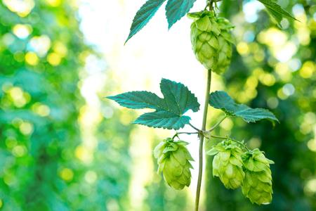 hopfield: detail of hop cones in the hop-garden