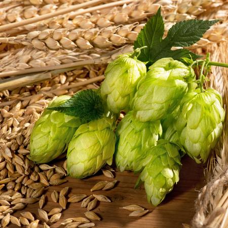 hopfield: hop cones  wheat and barley Stock Photo