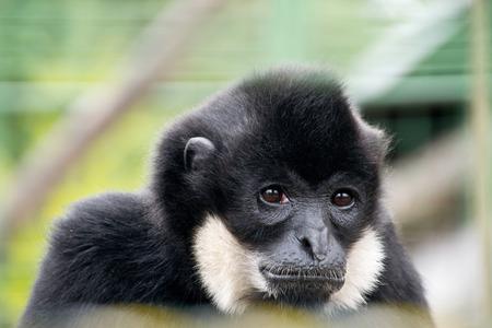 exotic gleam: portait of sad gibbon in the zoo