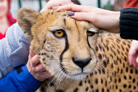 chetah: people stroke the cheetah in the zoo