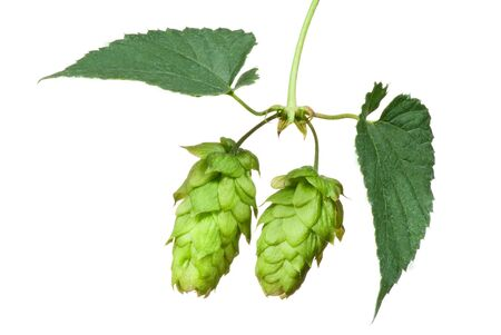 hopfield: Hop cones isolated