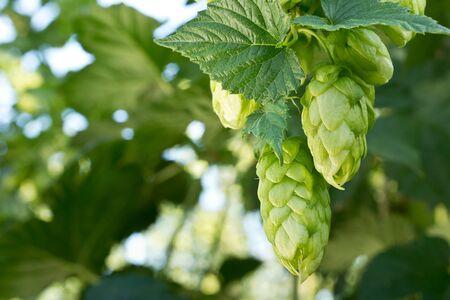 hopfield: Ripe hop cones in the hop garden