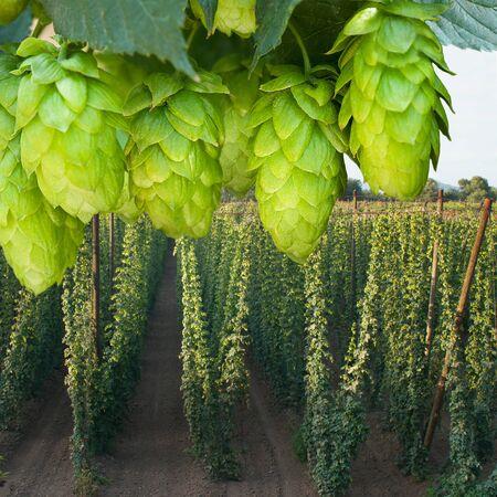 hopfield: detail of hop cones in the hop field Stock Photo