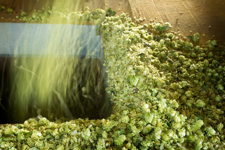 hop cone: hops is falling down in the drying room