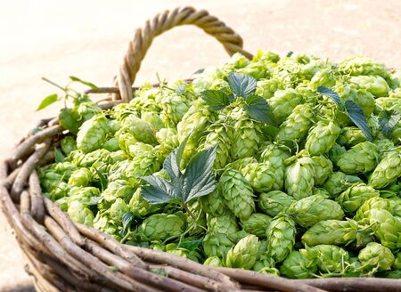 humulus lupulus: a  lot of hop cones in the wicker basket Stock Photo